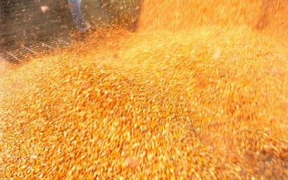 Safra nos Estados Unidos reduz preço do milho no mercado interno