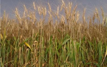 Clima úmido prejudica as plantações de trigo no Rio Grande do Sul