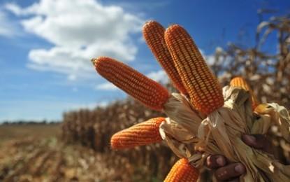 Conab vê forte redução do plantio de milho na Região Sul