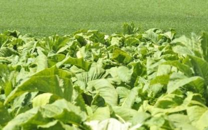 Em busca de equilíbrio para o tabaco brasileiro
