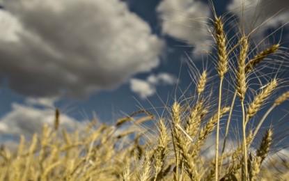 Com chuvas excessivas, perdas na qualidade do trigo podem ultrapassar 35% no RS