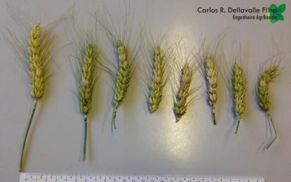 Doenças no trigo provocam prejuízos para produtores e consumidores no RS