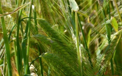 Cultivares de cevada devem chegar ao mercado em 2016