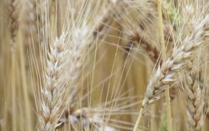Emater/RS-Ascar recebe mais de oito mil pedidos de Proagro para trigo