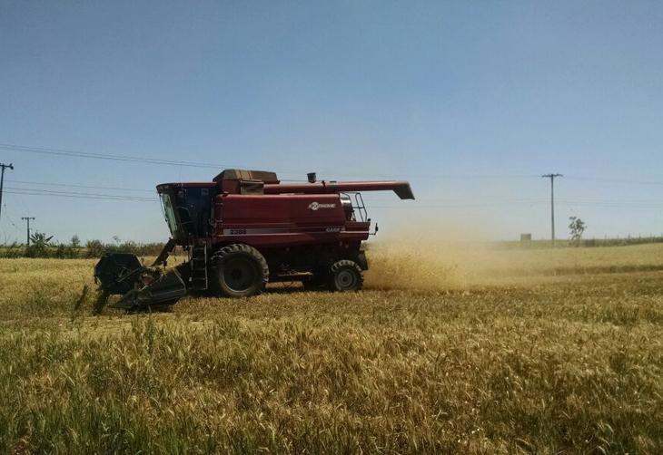 Colheita do trigo avança no RS e confirma baixa produtividade das lavouras