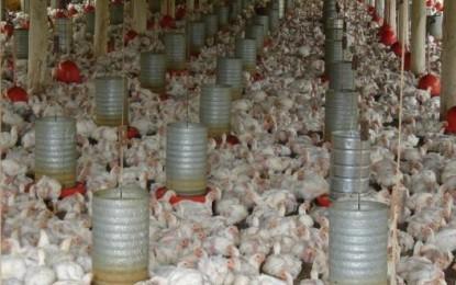 Perspectivas são positivas para avicultura em 2019