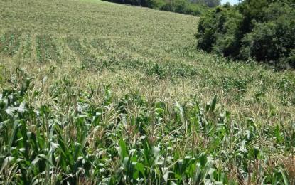 Grande volume das chuvas do final de semana favorece a cultura do milho