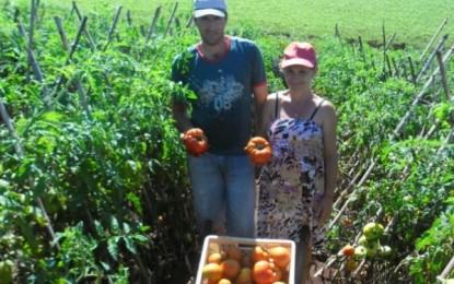 Produção de tomate ganha destaque em Sarandi
