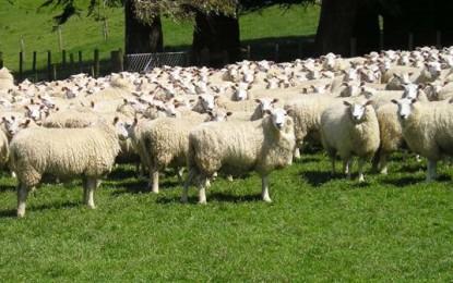 RS: O verão é da ovinocultura