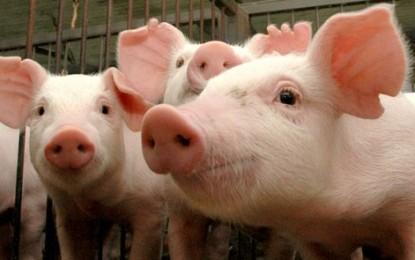 Pesquisa registra alta no preço pago pelo quilo do suíno vivo no RS