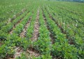 Plantio da soja deve se intensificar na Região Celeiro e demais regiões do RS nos próximos dias