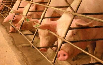 Preço pago pelo quilo do suíno vivo no Rio Grande do Sul é de R$ 3,21