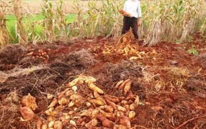 Porto-Mauense colheu 148kg de batata-doce somente num pé