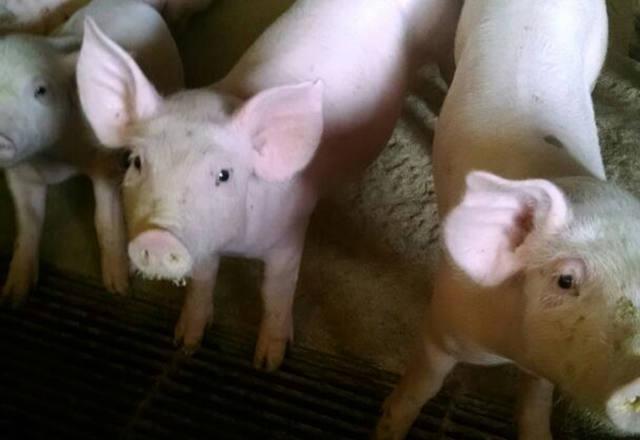 Preço de suíno vivo sobe em Minas Gerais, São Paulo e Rio Grande do Sul