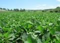 Incidência precoce da ferrugem da soja desafia produtores
