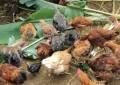 Confira a importância das folhas de bananeiras para as Galinhas