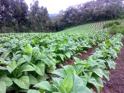 Novas condições do Pronaf promovem a diversificação em áreas cultivadas com tabaco