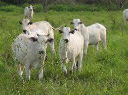 Cientistas brasileiros desenvolvem rebanho musculoso com 10% a mais de carne