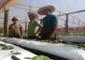 Agricultor investe na produção de moranguinho