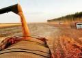 Altas temperaturas aceleram maturação e colheita do milho no Estado