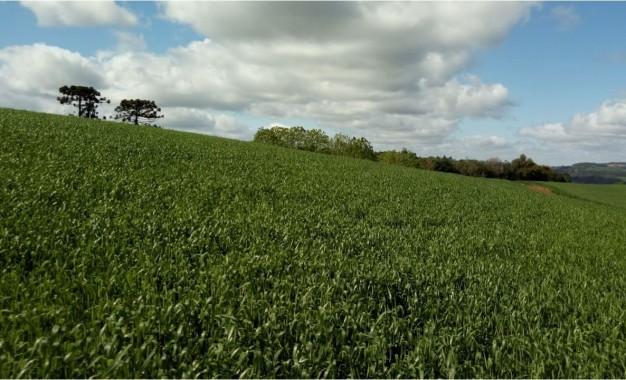Clima poderá ser bom para a cultura do trigo