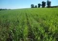 Semeadura do trigo atinge 88% da área prevista para esta safra no RS