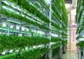 Nova alternativa de produção de verdura pode atingir o triplo da agricultura convencional