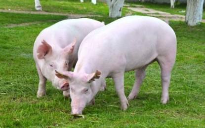 Carne de porco ganha espaço na mesa do brasileiro e no exterior