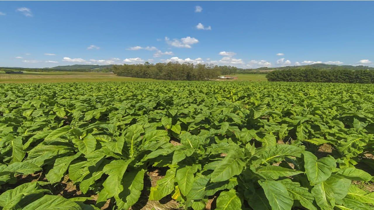 Estudo mostra que produção de tabaco melhora indicadores dos municípios