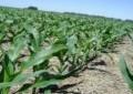 Clima favorece implantação de lavouras de milho no RS