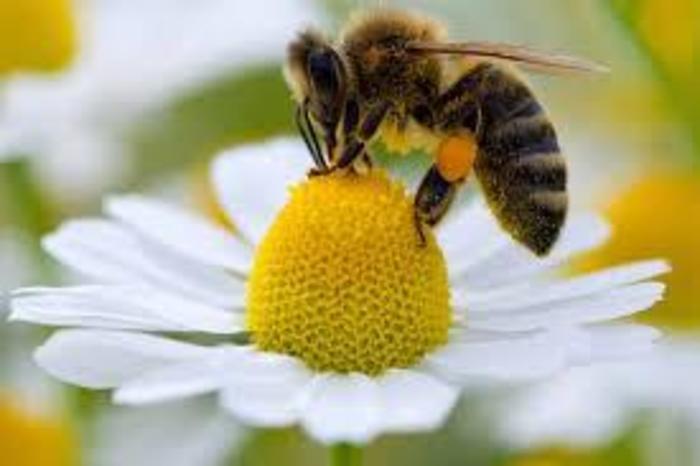 A Importância das abelhas na produção de alimentos e o preocupante desaparecimento de especies.