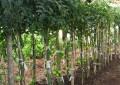 Composto orgânico contribui para controle de doença do tomateiro