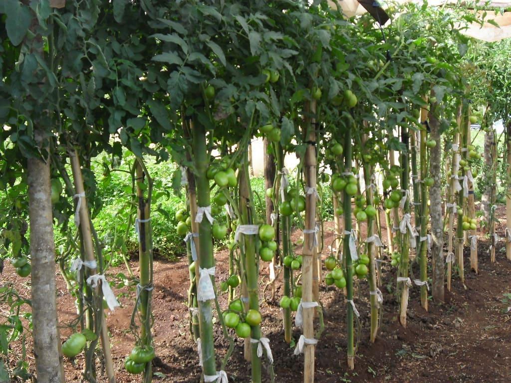 Manejo de tomate em ambiente protegido