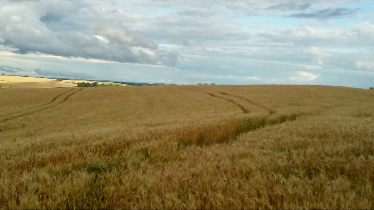 Produção de trigo em 2019 deve crescer 3,9%, para 5,5 milhões de toneladas, diz IBGE