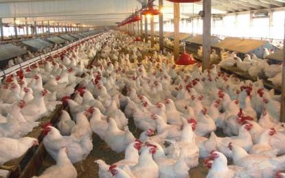 Chile reabre mercado para avicultura do Rio Grande do Sul