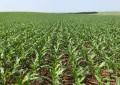 Plantio do milho no RS se encaminha para o final