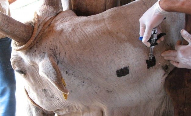 Barra do Guarita, programa oferece vacina contra Brucelose e exame de Tuberculose, com objetivo de auxiliar o produtor rural