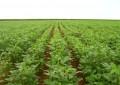 Chuvas beneficiam desenvolvimento das culturas de verão