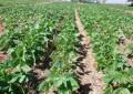 Brasil aumenta em 35% a produção do feijão