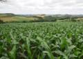 Lavouras de milho apresentam bom potencial produtivo