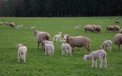Brasil tem rebanho com 18 milhões de ovelhas