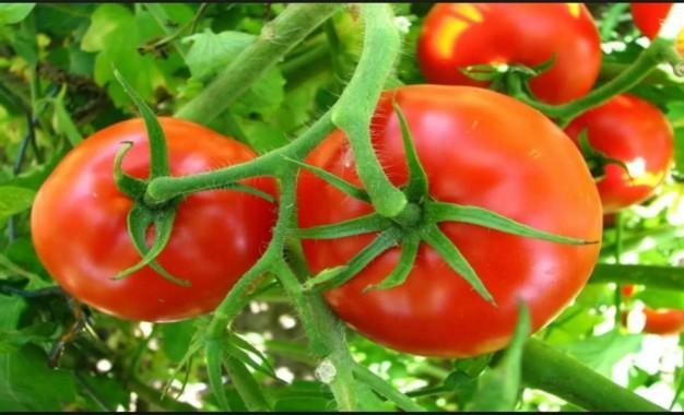 Informações sobre cultivo de tomate