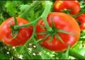 Adubação com Bokashi reduz murchadeira em tomate