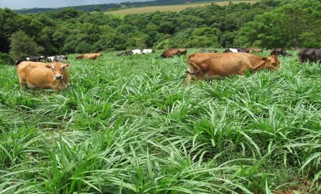 Informações, sobre a cultivar do capim-elefante BRS Kurumi, para o gado de leite.