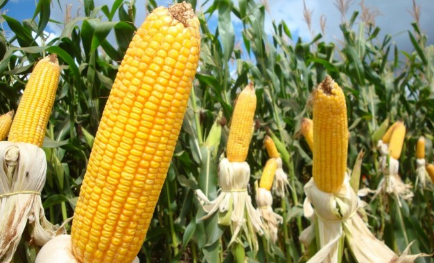 Miraguaí debate alternativas para superar falta de milho