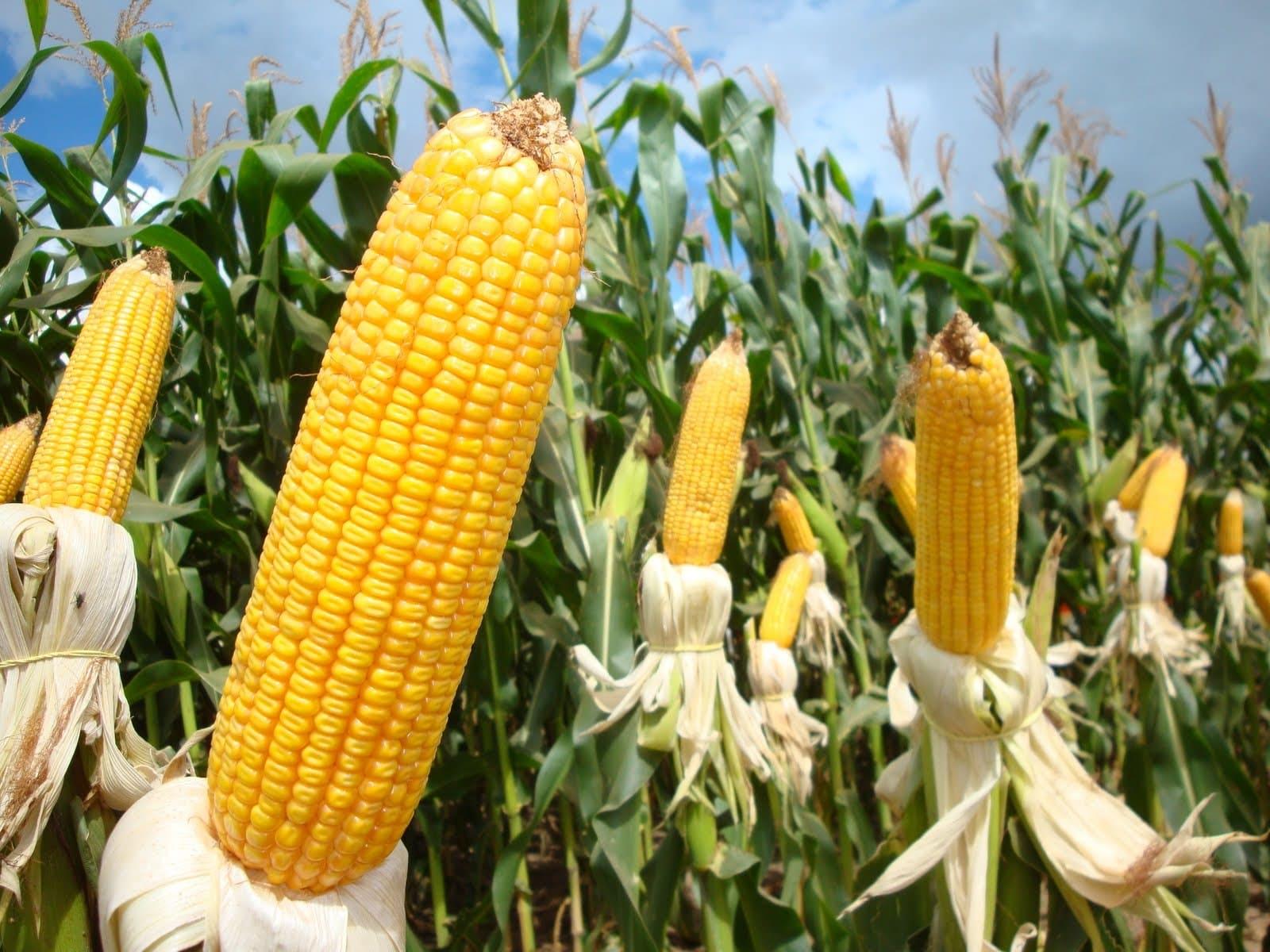 Preço do milho têm tendência de alta