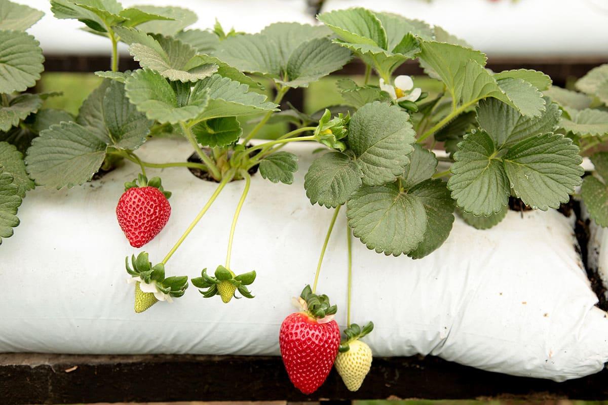 Mudas sadias é o início do sucesso no cultivo de morango