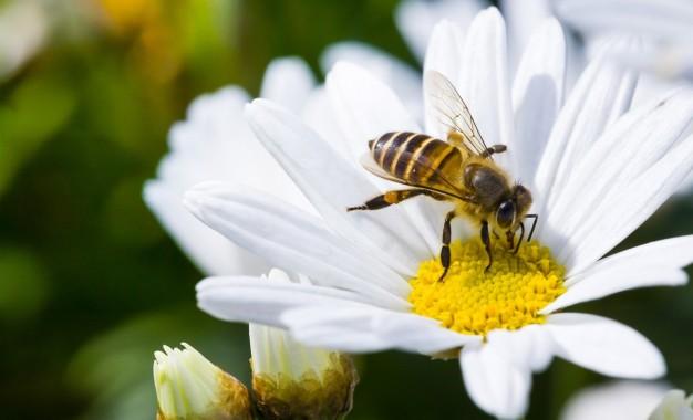 Início das floradas de primavera estimula polinização das abelhas
