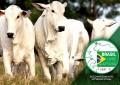 Brasil Livre da Aftosa é um marco na história da pecuária