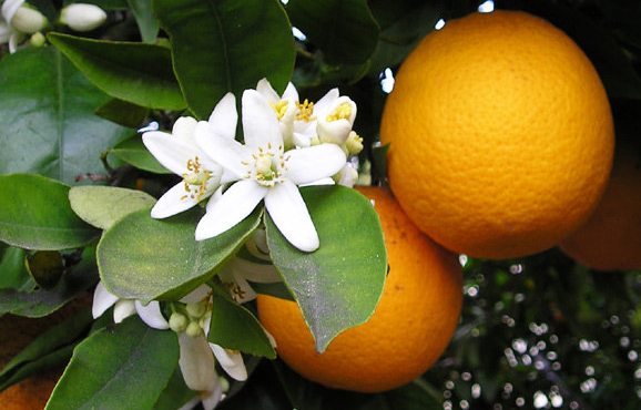 Como realizar poda em citros